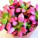 Guarantee Anacampseros Sunrise rufescens rare avonia exotic succulent aloe seed 100 seeds