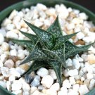 "Guarantee RARE ALOE DESCOINGSII exotic succulent cactus cacti agave haworthia 4"" plant"