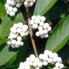 Guarantee Callicarpa Japonica Leucocarpa Japanese White Beauty berry Bush seed 100 SEEDS