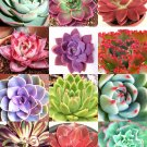 Guarantee COLOR ECHEVERIA mix rare exotic succulent HEN & CHICKS flowering seed 100 seeds