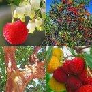 Guarantee ARBUTUS UNEDO exotic fruit strawberry tree rare flowering madroño seed 50 SEEDS