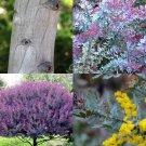 Guarantee Acacia Baileyana Purpurea cootamundra rare flowering wattle tree purple 50 seeds