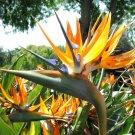 Guarantee Bird of Paradise flowering Strelitzia Reginae exotic Crane Flower seed 50 seeds
