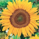 Guarantee 600 Dwarf Sunspot Sunflower Seeds harvested in