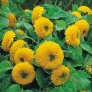 Guarantee 600 Teddy Bear SUNFLOWER SEEDS HELIANTH ANNU FLOWER ANNUAL