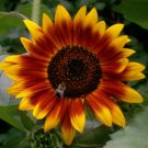 Guarantee 600 Autumn Beauty SUNFLOWER SEEDS HELIANTH ANNU FLOWER GIANT ANNUAL TALL