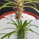 """Guarantee PACHYPODIUM COMBO rare exotic madagascar palm succulent plants cactus cacti 4"""""""