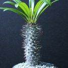 """Guarantee Pachypodium lamerei rare madagascar palm plant cactus cacti caudex bonsai 6"""" pot"""