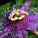 Guarantee Passiflora incarnata maracuja passion fruit vine maypop fragrant seed 100 SEEDS