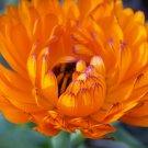 Premium 500 Seeds PACIFIC BEAUTY MARIGOLD CalendulaFlower Seed