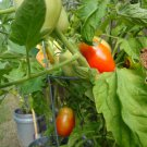 Premium 500 Seeds Italian ROMA Lycopersicon Fruit Vegetable Seeds