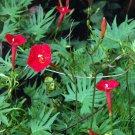 Premium 30 Seeds CARDINAL CLIMBER Red Flower Seeds Ipomea Quamoclit