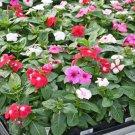 Premium 100 Seeds DWARF LITTLE PERIWINKLE / VINCA Rosea Flower Seeds