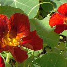 Premium 25 Seeds Dwarf RED NASTURTIUM Tropaeolum Nanum Hummingbird Flower Seeds