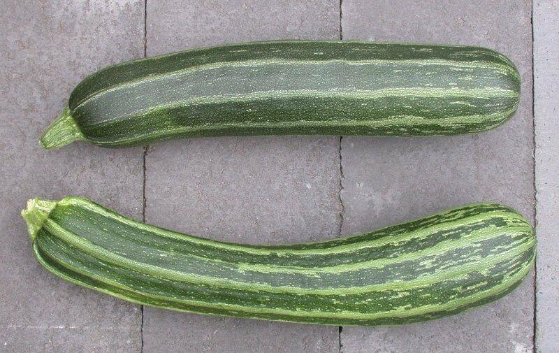 Premium 50 Seeds COCOZELLE di SQUASH Italian Zucchini Cucurbita Pepo Vegetable Seeds