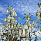 Premium 10 Seeds WHITE AFRICAN Giant Spire Lily Ornithogalum Candicans Flower Seeds
