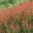 Premium 100 Seeds SHEEP SORREL Acetosella Red Field Sorrel Sour Weed Herb Flower Seeds