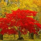 Premium 20 Seeds Red FLAME TARTARIAN MAPLE TREE Acer Seeds