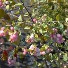 Premium 30 Seeds WESTERN SNOWBERRY White Pink Flower Symphoricarpos Occidentalis Seeds