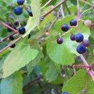 Premium 10 Seeds CANYON GRAPE Black Arizona Gulch Vitis Arizonica Vine Climber Seeds
