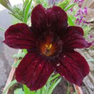 Premium 25 Seeds CHILEAN BLACK TONGUE Salpiglossis Sinuata Paisley Flower Seeds