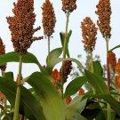 Premium 50 Seeds DELLA SORGHUM Syrup Flour Grain Vegetable Seeds