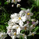 Premium 25 Seeds JERUSALEM CHERRY Winter Solanum Pseudocapsicum Flower Seeds