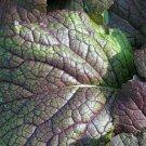 Premium 1500 Seeds RED GIANT Ornamental Japanese Greens Herb Vegetable Brassica Seeds