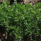 Premium 100 Seeds BLACK LENTIL Lens Culinaris Vegetable Legume Sprouts Seeds