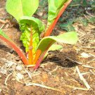 Premium 40 Seeds Pink FLAMINGO CHARD Beta Vulgaris Perpetual Spinach Vegetable Seeds