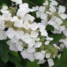 Premium 40 Seeds White OAK HYDRANGEA Shrub Flower Seeds