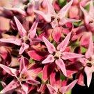 Premium 50 Seeds SHOWY MILKWEED Speciosa Seeds