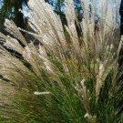 Premium 10 Seeds SILVER MAIDEN Miscanthus Sinensis Perennial Flower Seeds