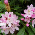 Premium 50 Seeds Rosebay RHODODENDRON White Pink Laurel Bush Shrub Flower Seeds