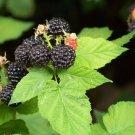Premium 100 Seeds BLACKBERRY BUSH Berry Rubus Seeds