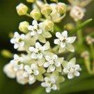 Premium 20 Seeds WHITE WORLED Asclepias Flower Seeds