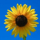 "Premium 50 Seeds SKYSCRAPER SUNFLOWER Annuus HUGE 14"" Yellow Flower Seeds"