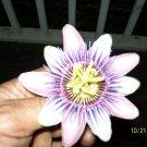 Premium 10 Seeds PURPLE GRANDILLA FLOWER Passiflora Incarnata Seeds