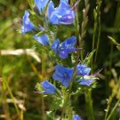 Premium 100 Seeds VIPERS BUGLOSS Vulgare Blue Flower Seeds