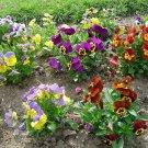 Premium 250 Seeds SWISS GIANT PANSY Viola Violet Flower Seeds