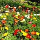 Premium 1000 Seeds MIXED CALIFORNIA Eschscholzia Californica Ballerina Mix Flower Seeds
