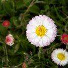 Premium 500 Seeds DWARF WHITE DAISY Bellis Perennis Seeds