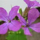 Premium 100 Seeds LUNARIA / PLANT / HONESTY Flower Seeds