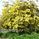 Premium 10 Seeds GOLDEN MIMOSA Baileyana Yellow Wattle Tree Flower Seeds