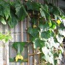 Premium 25 Seeds LUFFA SPONGE Luffa Cylindrica Seeds