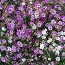 Premium 300 Seeds IMMORTELLE IMMORTAL Xeranthemum Paper Daisy Everlasting Flower Seeds