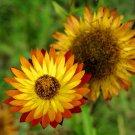 Premium 50 Seeds Golden YELLOW STRAWFLOWER Helichrysum Bracteatum Flower Seeds
