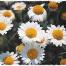 Premium 500 Seeds ROMAN CHAMOMILE Nobile Herb Flower Seed