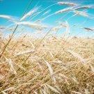 Premium 100 Seeds Common BARLEY Vulgare Grain Grass Cover Crop Beer Seeds
