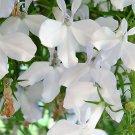 Premium 200 Seeds WHITE LOBELIA Erinus Flower Seeds